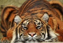 Тематическая неделя «День Амурского тигра»